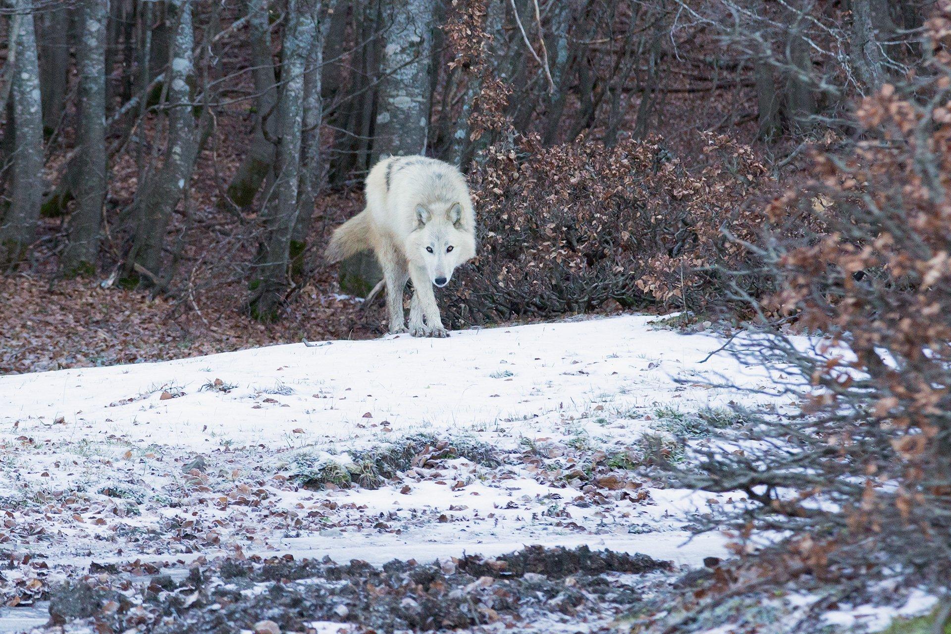 Uno splendido American Wolfdog nei boschi del Pollino