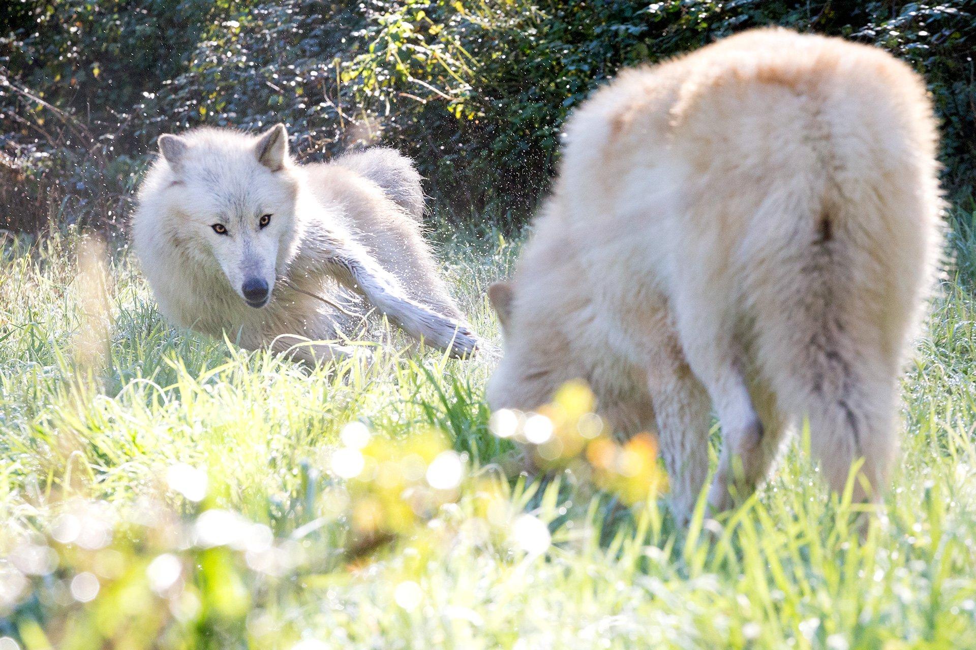 Due American Wolfdogs giocano in un prato