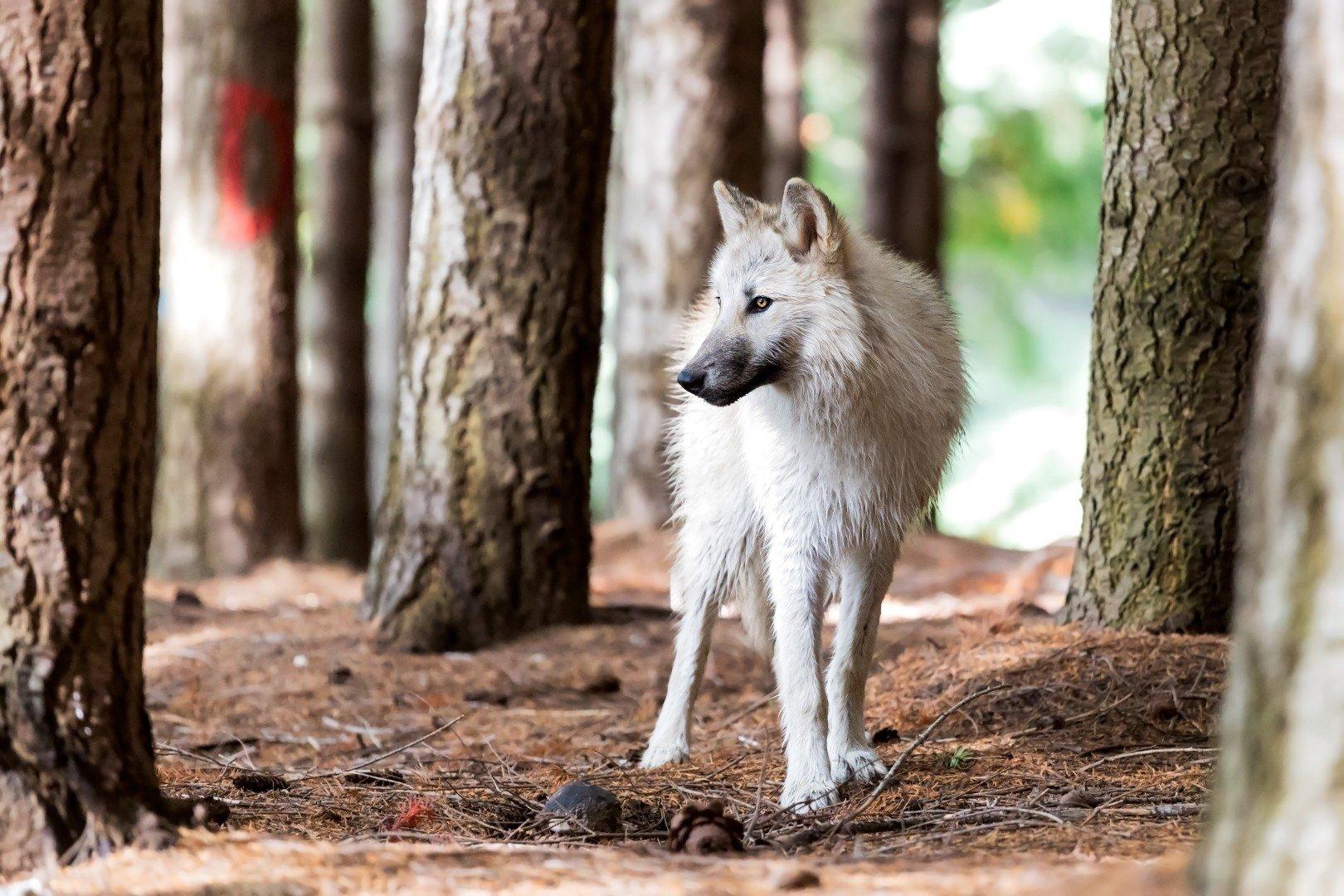 Lupo in Italia. Chi ha paura del lupo?