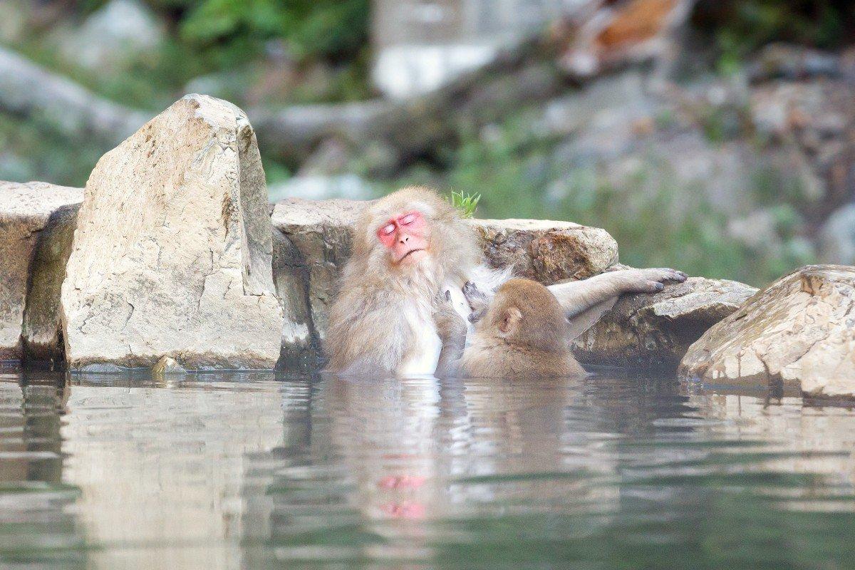 Due scimmie negli Onsen, le sorgenti termali in Giappone, trovano ristoro