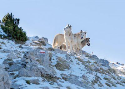 American Wolfdogs