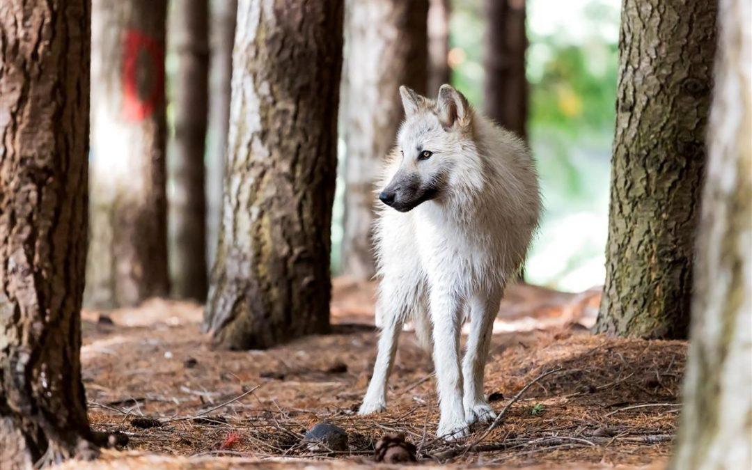 American Wolf-dog
